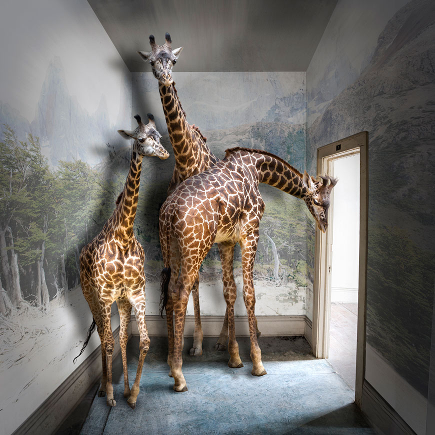 This composite image of giraffes in a building is by Carol Erb, who constructed it using original photos and Adobe Photoshop.