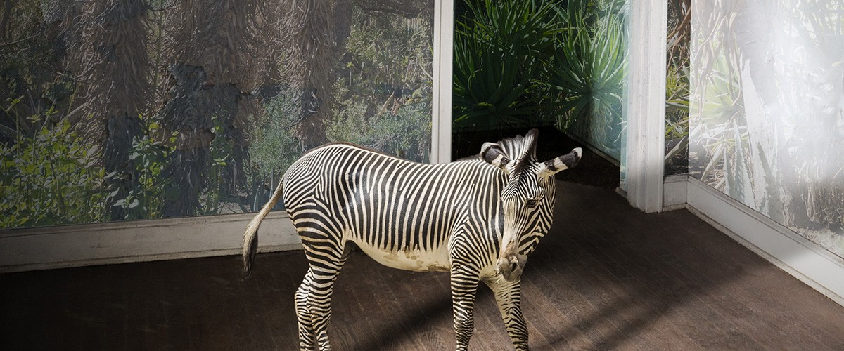 This composite image of a zebra is by Carol Erb, who constructed it using original photos and Adobe Photoshop.