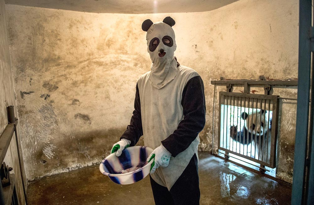 Ami Vitale has been documenting conservation efforts aimed at bringing back pandas in China. This photo shows a human in a panda suit.