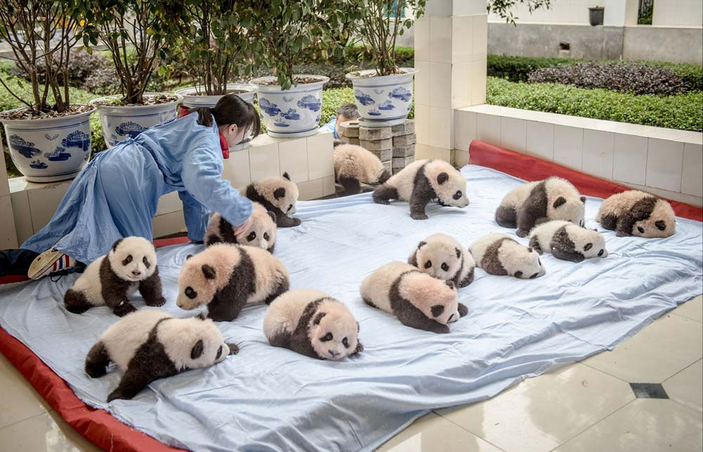 Ami Vitale has been documenting conservation efforts aimed at bringing back pandas in China. This photo shows a human in a panda nursery.