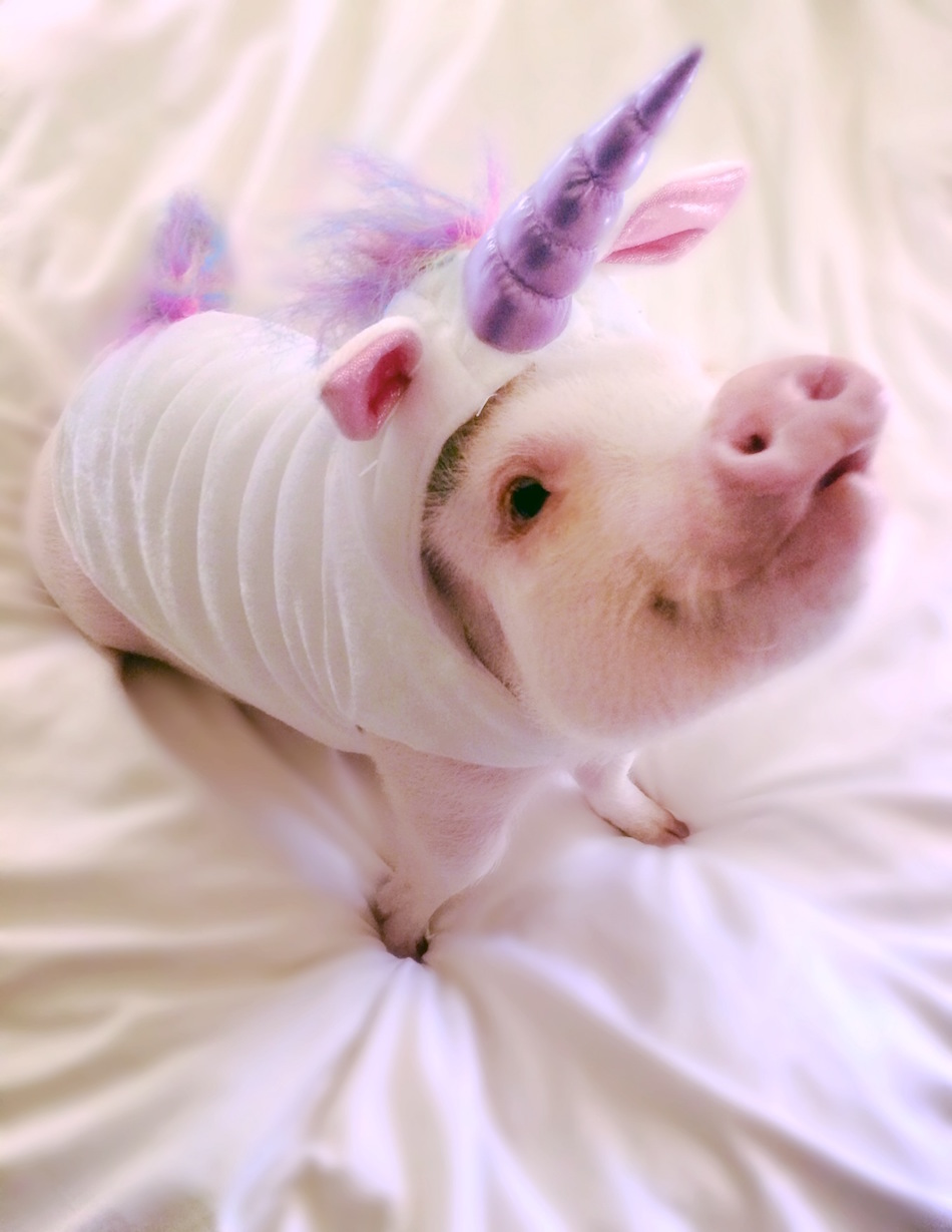 A photo of the famous pig Hamlet the Piggy, in a unicorn costume
