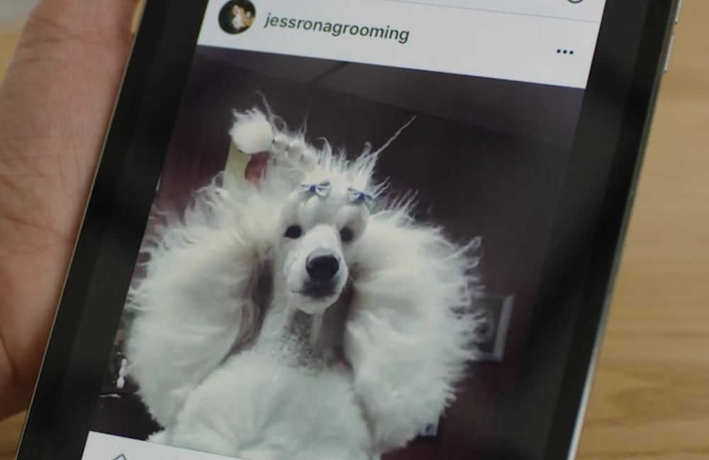 An image of a standard poodle being blown dry at a groomer, photo by Jess Rona.