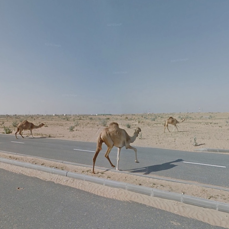 A photo of camels crossing a highway in the United Arab Emirates, from the Agoraphobic Traveller