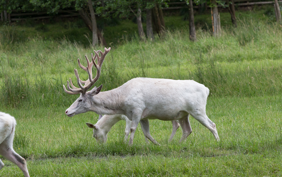 photo of a white deer